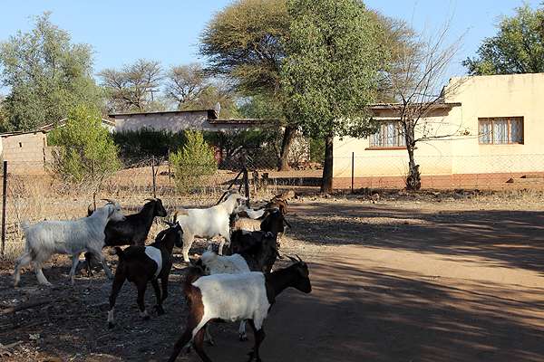 Botswana---Goats